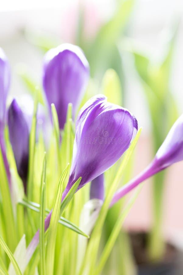O close up do açafrão roxo brilhante floresce na mola imagens de stock