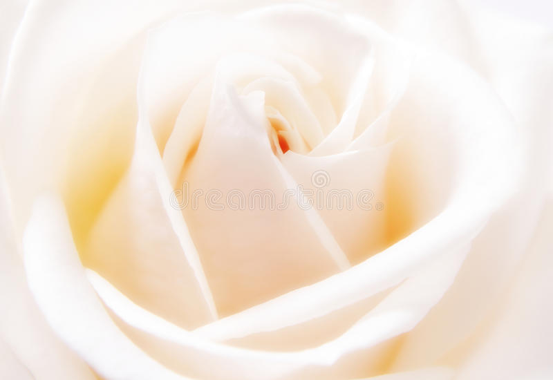 O close up do branco levantou-se imagem de stock royalty free