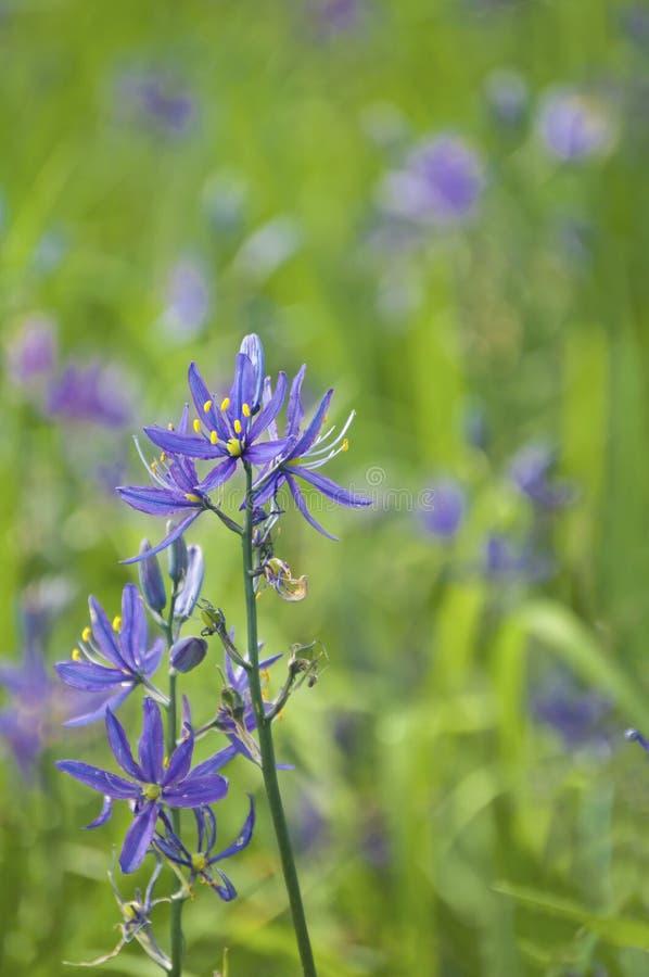 O close up do Camassia Leichtlinii de Camas floresce na flor completa imagem de stock royalty free