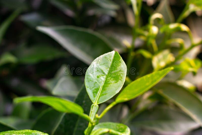 O close-up do limão sae com as gotas da água A folha e o ramo verdes do limão com água deixam cair imagens de stock