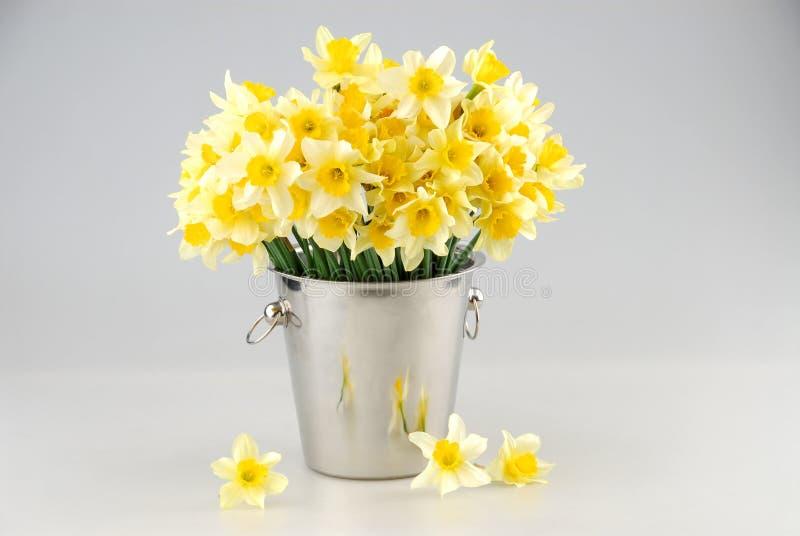 O close-up do narciso amarelo branco floresce, sabido como Paperwhite, papyraceus do narciso no campo de grama verde imagem de stock royalty free