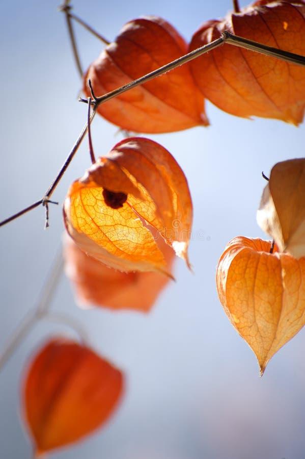 O close up do physalis delicado floresce rachado e murcho fotos de stock royalty free