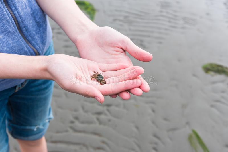 O close-up do ` s da menina entrega guardar o caranguejo verde pequeno ao estar na praia na maré baixa imagem de stock
