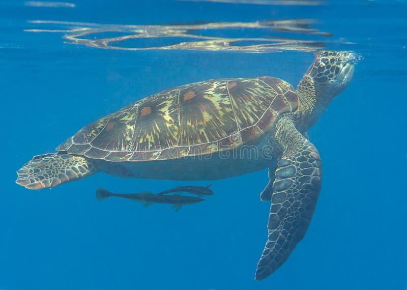 O close up dos mydas de um Chelonia da tartaruga de mar verde que nadam à superfície à respiração areja foto de stock