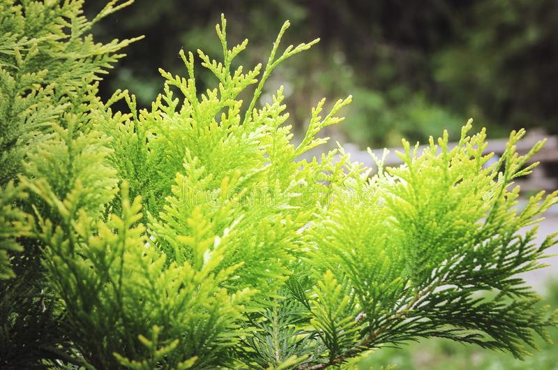 O close-up dos occidentalis do Thuja do ramo Fundo bonito do verão close-up, foco macio Fundo brilhante bonito fotografia de stock