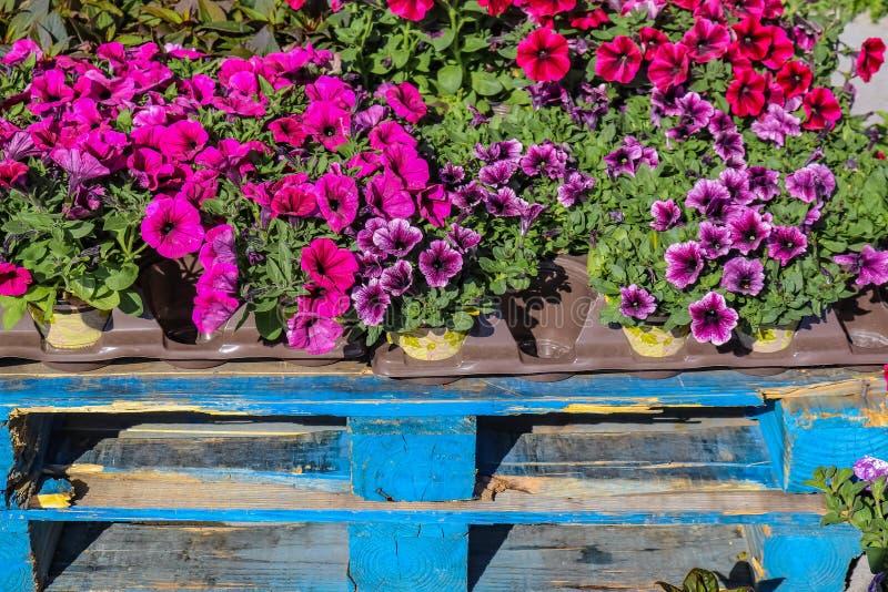 O close up dos recipientes dos pansies para a venda que senta-se fora no azul rústico pintou páletes de madeira imagens de stock