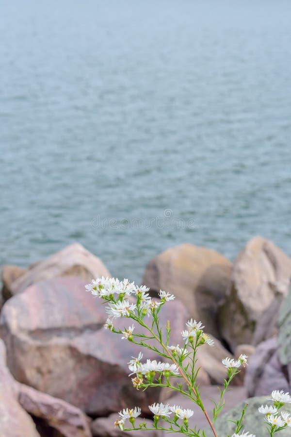 O close up dos wildflowers brancos na frente do grande quartzito balança a imagens de stock royalty free