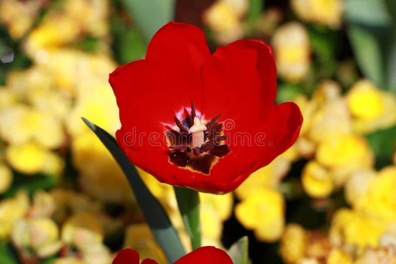 O close up, flor vermelha da tulipa está florescendo no jardim tão muito bonito fotografia de stock