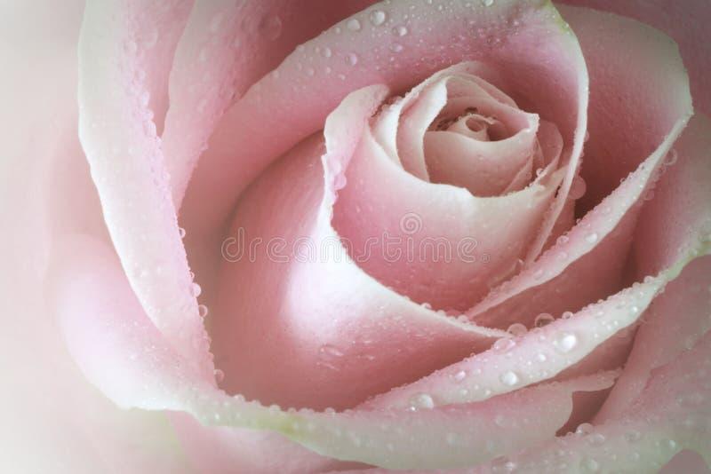O close up macro de um único rosa macio aumentou com gotas de orvalho imagem de stock royalty free