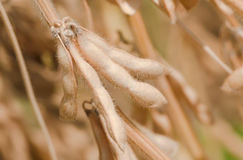 O close up maduro dos feijões de soja, apronta-se para a colheita imagens de stock royalty free