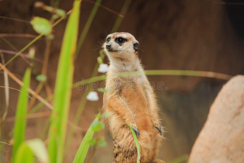 O close up Meerkat está estando vago no Forest Park fotografia de stock