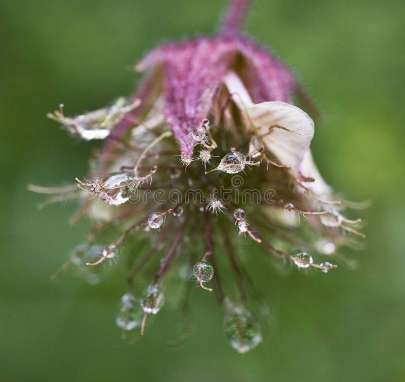 O close up natural murcho da flor após a chuva pesada com água deixa cair fotos de stock royalty free