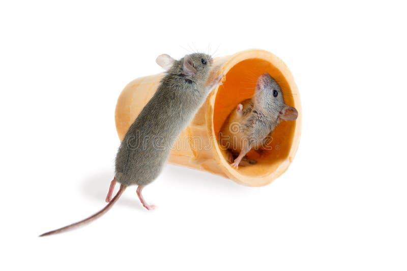 O close up o rato de campo empurra o cone da bolacha com dentro de um outro rato foto de stock