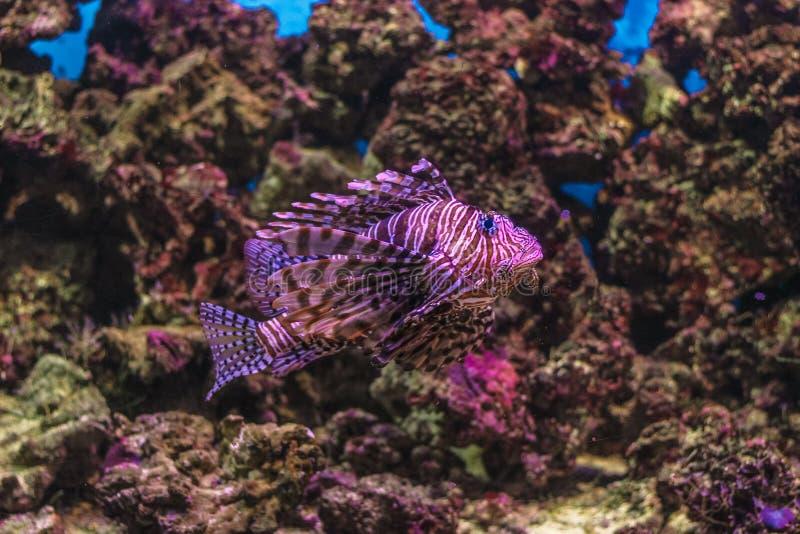 O close up vermelho dos peixes dos volitans do Pterois do lionfish no aquário azul imagem de stock royalty free