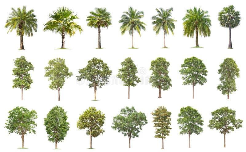 O coco e a palmeira isolaram a ?rvore no fundo branco, a cole??o das ?rvores As grandes árvores estão crescendo no verão, fazendo imagem de stock
