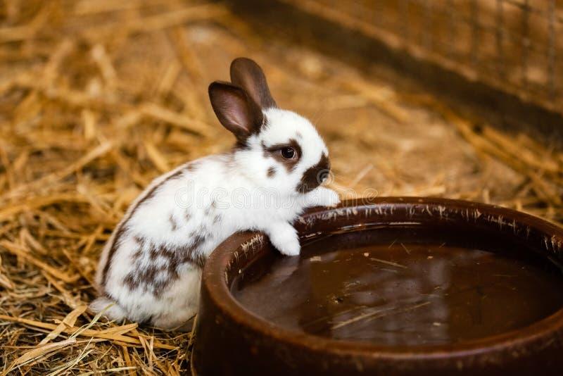 O coelho branco bonito comerá a água da bandeja no assoalho do tijolo na casa do jardim o coelho branco bebe a água foto de stock