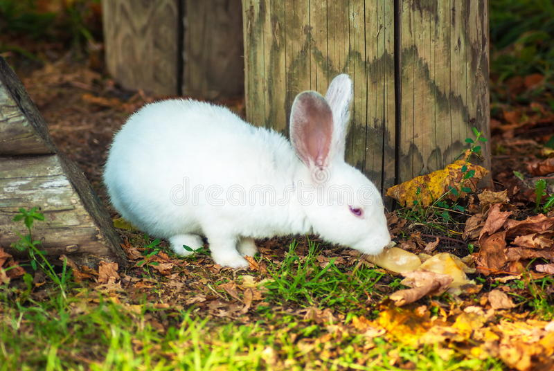 O coelho branco pequeno bonito come a grama imagens de stock