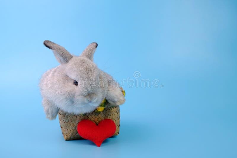 O coelho cinzento está em uma cesta com um coração vermelho no fundo azul fotografia de stock royalty free