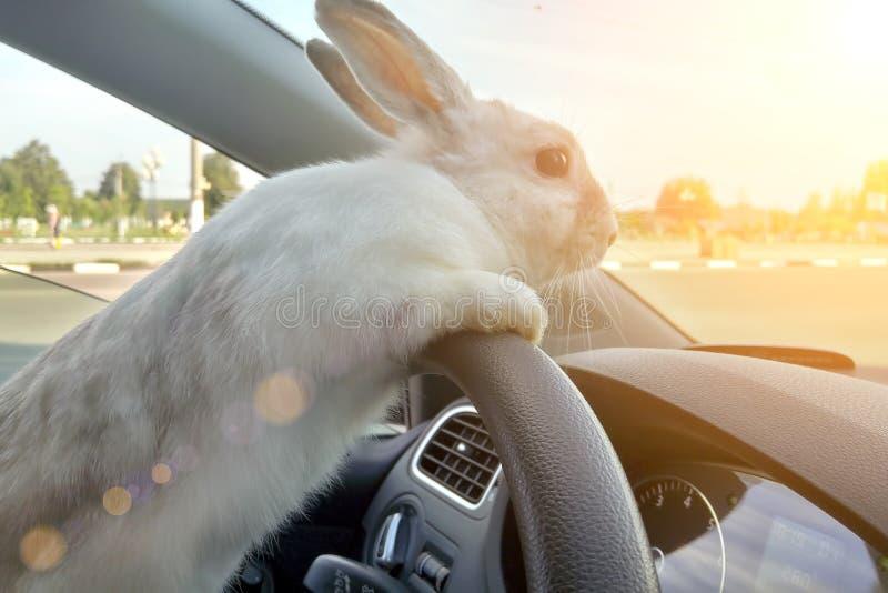 O coelho conduz um carro, ele está no banco do condutor atrás do volante Motorista da lebre Passeios brancos do coelhinho da Pásc fotografia de stock royalty free