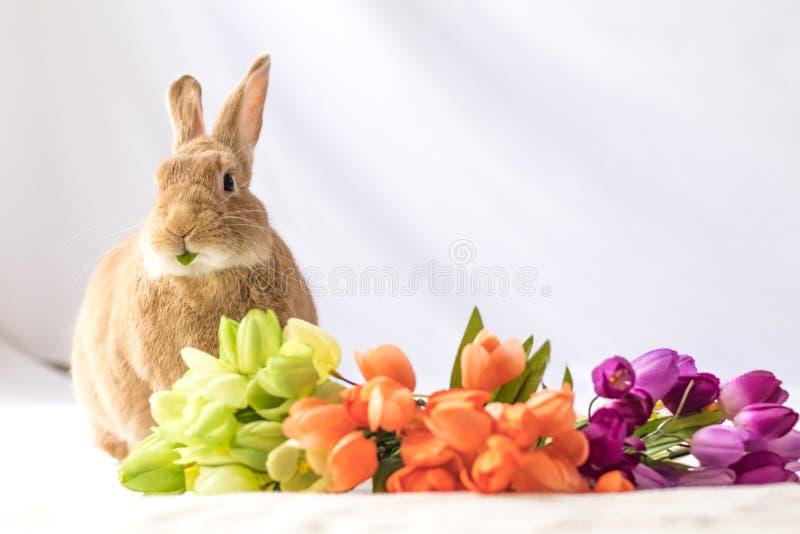 O coelho de coelhinho da Páscoa bronzeado e Rufus colorido faz expressões engraçadas contra flores macias do fundo e da tulipa no imagens de stock royalty free