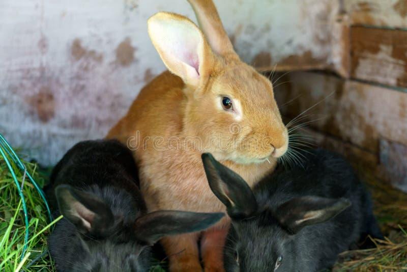 O coelho de coelho pequeno ruivo com coelhos pretos senta-se em uma gaiola foto de stock