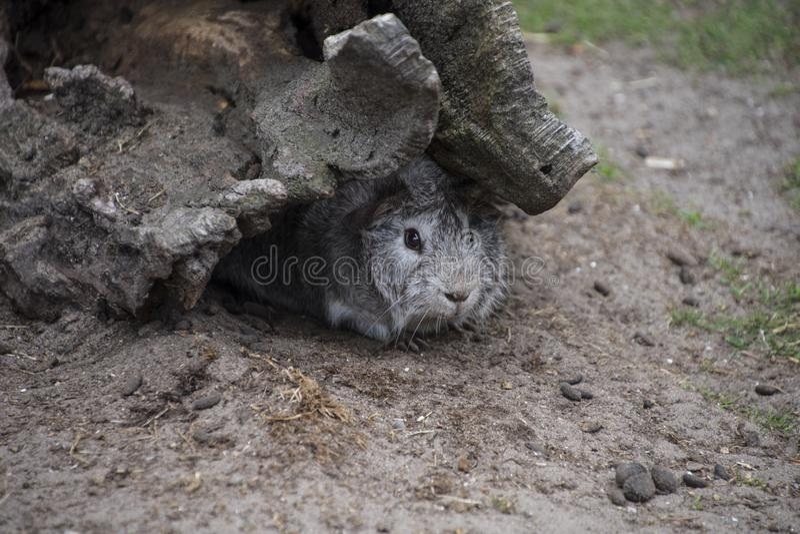 O coelho em seu furo em um jardim zoológico que mostra ideias conceptuais do risco, possibilidade, decisão, hesitação, medo, expl fotografia de stock