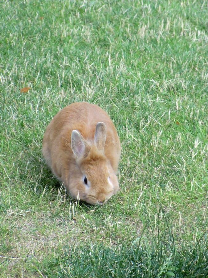 O coelho está tendo o almoço em um prado fotografia de stock royalty free