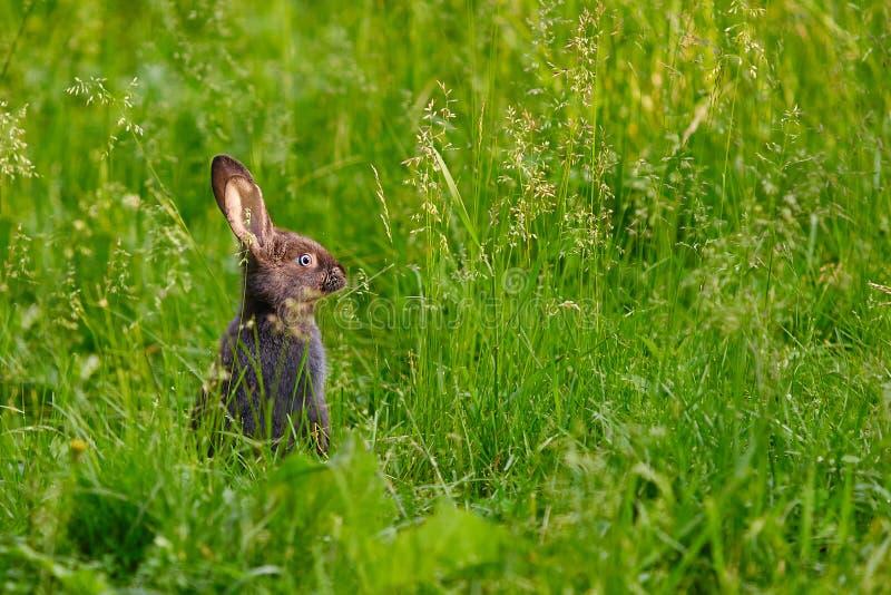 O coelho esteve em seus pés traseiros em um momento do perigo e dos olhares na distância imagens de stock