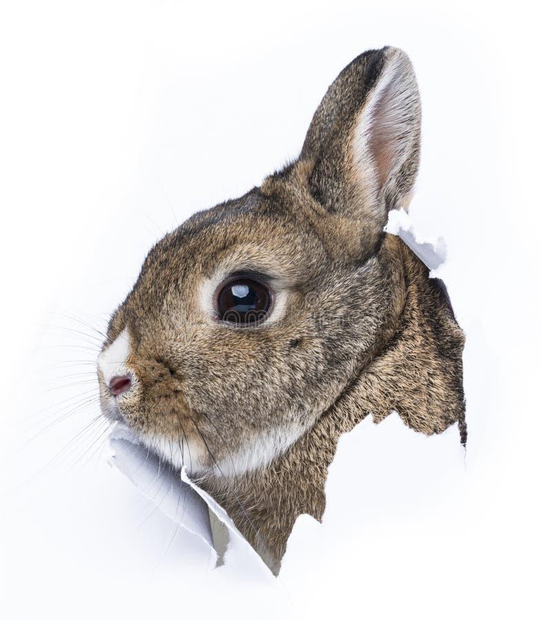 O coelho olha através de um furo em um papel fotografia de stock