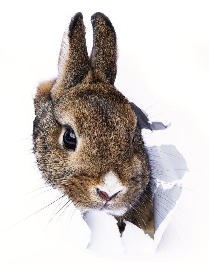 o coelho olha através de um furo em um papel imagem de stock
