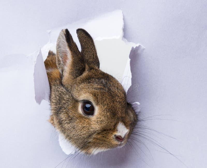 O coelho olha através de um furo em um papel fotografia de stock royalty free