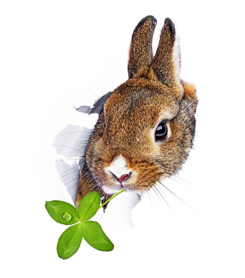 O coelho olha através de um furo em um papel imagens de stock