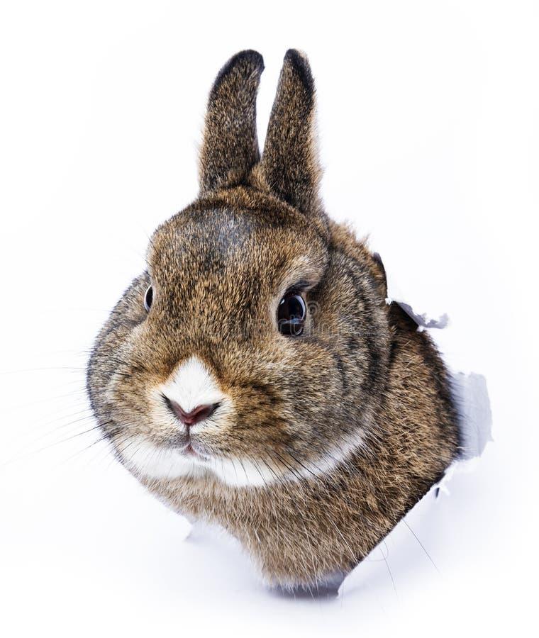 O coelho olha através de um furo no papel fotos de stock