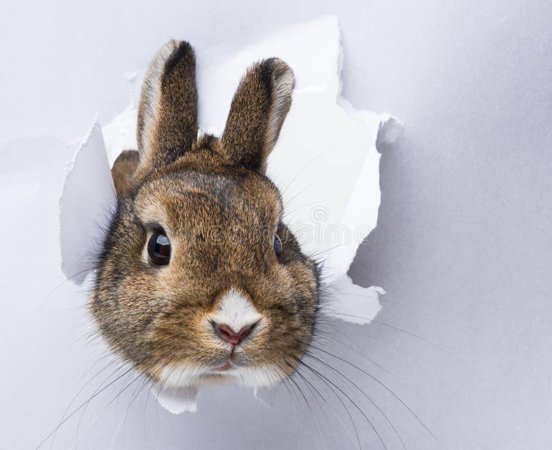 O coelho olha através de um furo no papel fotos de stock royalty free