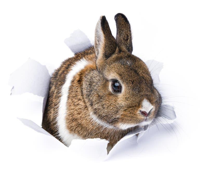 O coelho olha através de um furo no papel fotografia de stock