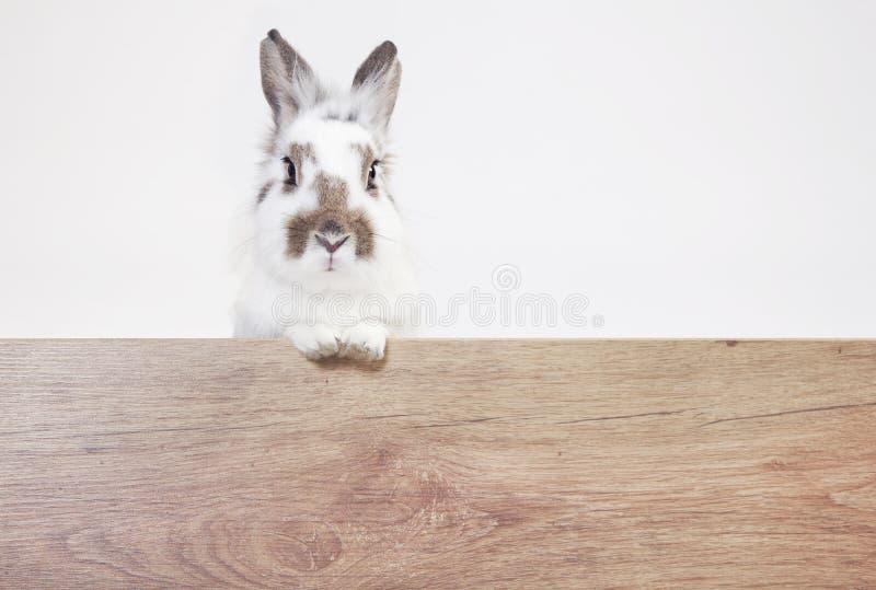 O coelho olha o espaço de madeira da cópia imagens de stock royalty free