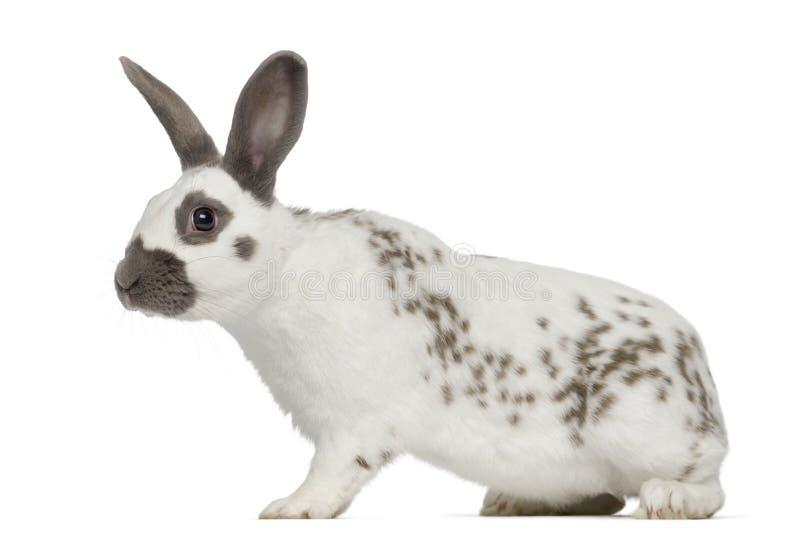 O coelho preto do fogo levanta-se e isolado no branco fotografia de stock royalty free