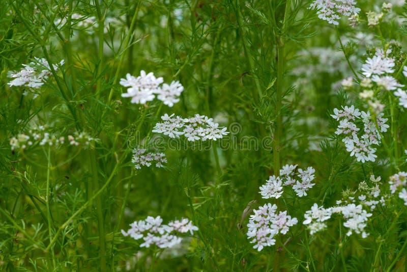 O coentro bonito do coentro floresce a florescência no verão fotos de stock royalty free