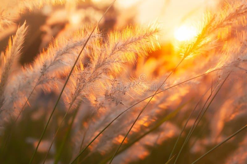 O cogon pitoresco grama flores no por do sol, cena da natureza no verão foto de stock royalty free