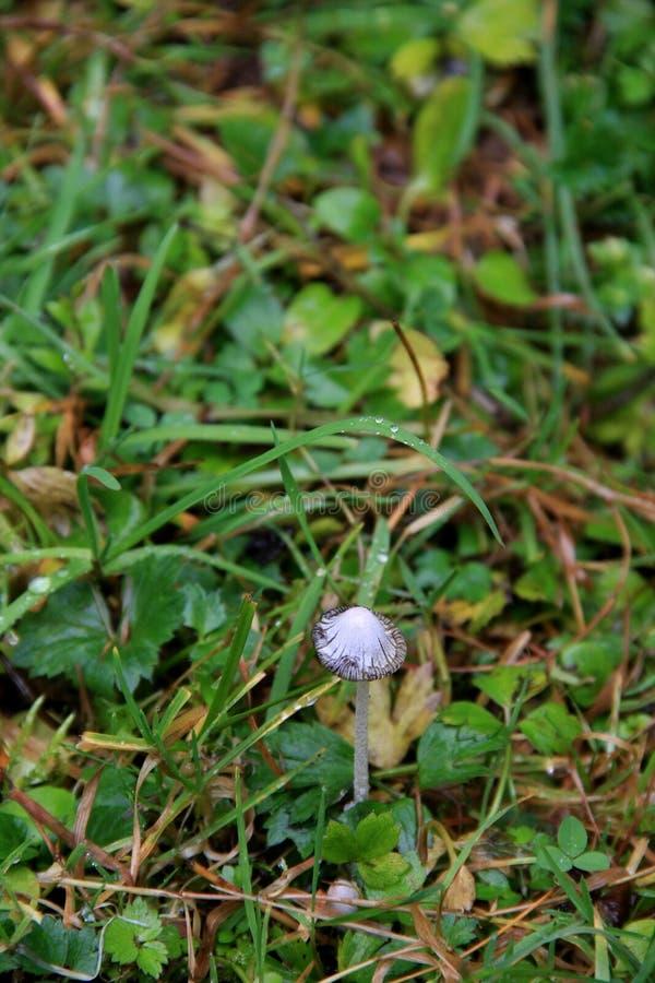 O cogumelo bonito cresce entre o musgo e a hera outono Montanhas Carpathian, Ucrânia fotos de stock