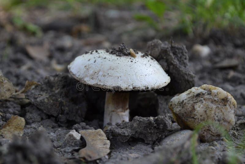 O cogumelo branco está crescendo imagem de stock royalty free