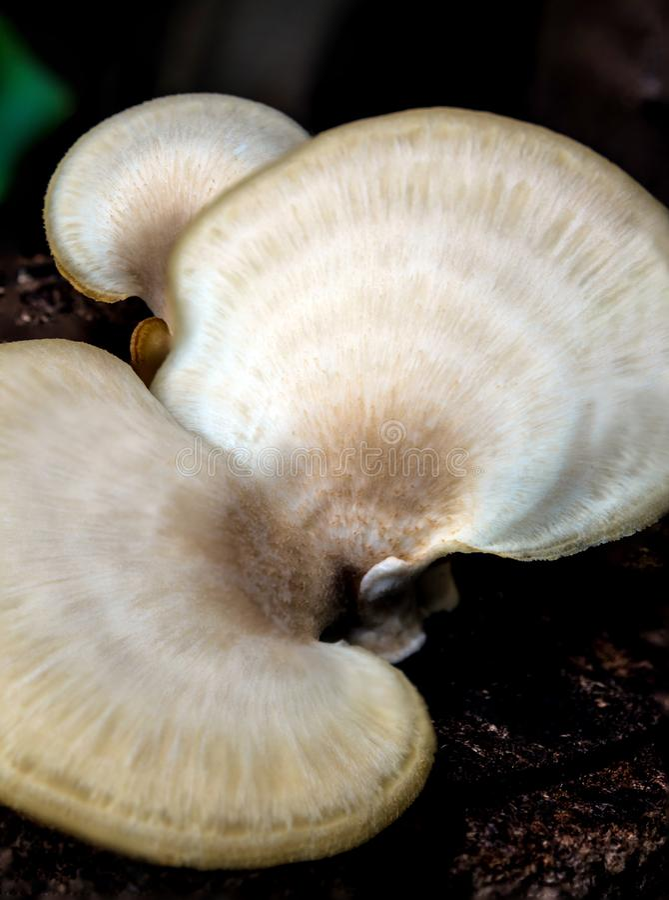 O cogumelo branco na madeira mouldy imagem de stock royalty free
