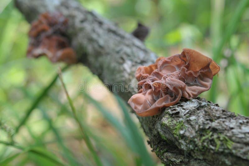 O cogumelo da geleia foto de stock