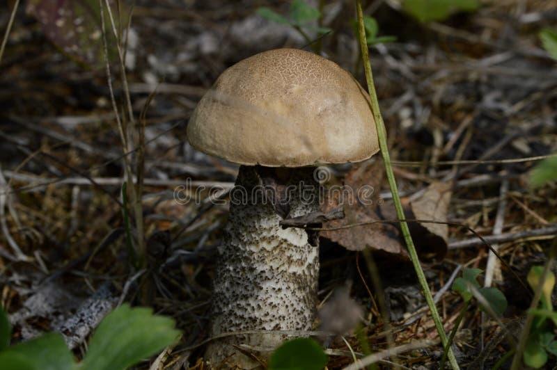 O cogumelo novo do vidoeiro cresceu acima nas madeiras fotos de stock royalty free