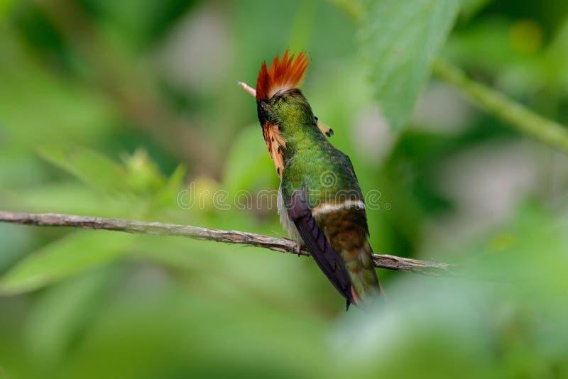 O colibri colorido adornou o coquete de Trinidad que senta-se no ramo verde imagem de stock