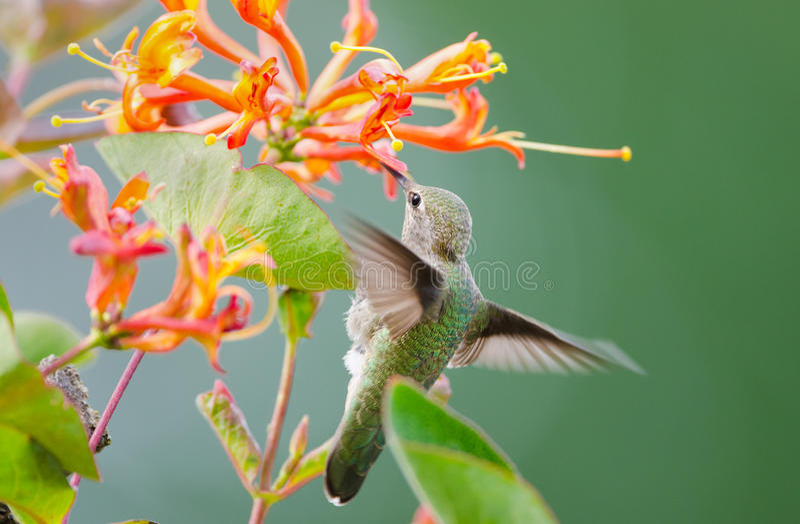 O colibri de Anna que alimenta em Honeysuckle Flowers fotografia de stock