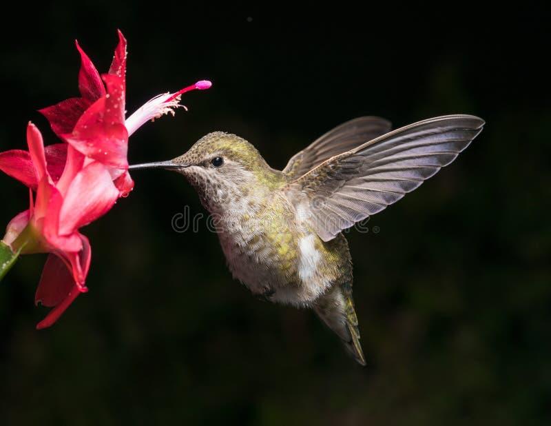 O colibri e a flor vermelha com fundo escuro rotulam o ra do aspecto imagens de stock royalty free