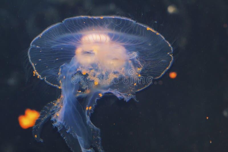 O colorata listrado roxo do Chrysaora das medusa uma opinião as medusa, provocação do mar, medusa Medusozoa fotografia de stock