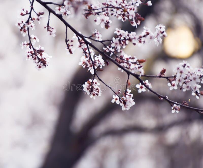 O começo da árvore de cereja de florescência Primeiras flores de abertura da proposta maravilhosa Foto artística fotos de stock royalty free
