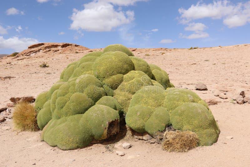 O compacta de Yareta ou de Llareta Azorella é um nativo de florescência da planta a Ámérica do Sul fotografia de stock